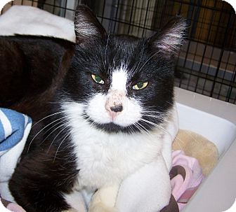 Domestic Shorthair Cat for adoption in Grants Pass, Oregon - Uno