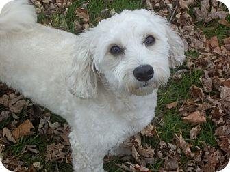 Bichon Frise/Maltese Mix Dog for adoption in Mississauga, Ontario - Dumpling