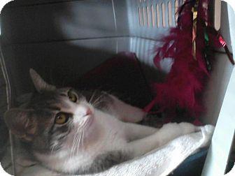 Domestic Shorthair Cat for adoption in Flower Mound, Texas - Honey Rose