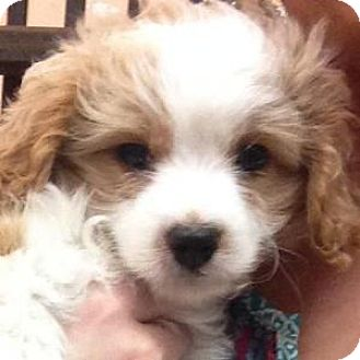 Bichon Frise/Cavalier King Charles Spaniel Mix Puppy for adoption in La Costa, California - Bailey