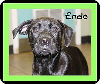 Labrador Retriever Mix Puppy for adoption in Covington, Louisiana - Endo