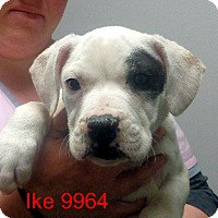 Adopt A Pet :: IKE - Greencastle, NC