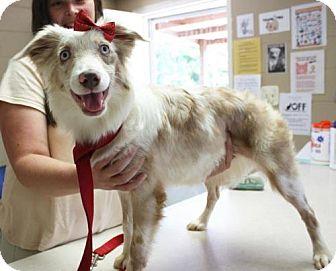 Australian Shepherd Dog for adoption in Cottageville, West Virginia - Montana Skye