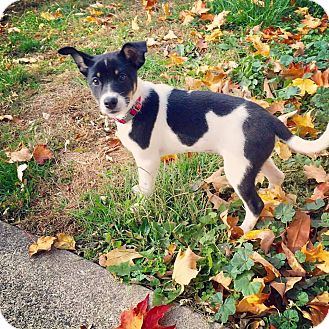 Terrier (Unknown Type, Small) Mix Puppy for adoption in Milton, New York - Reegan