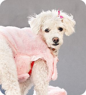 Poodle (Miniature) Mix Dog for adoption in Thousand Oaks, California - Kendall