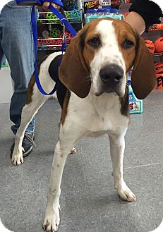 Treeing Walker Coonhound Dog for adoption in Hagerstown, Maryland - Amos (Pom)