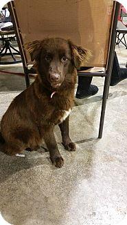 Australian Shepherd/Labrador Retriever Mix Puppy for adoption in Lima, Ohio - Trixie