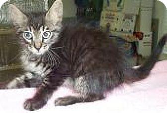 Domestic Mediumhair Kitten for adoption in Fayetteville, Georgia - Adonis