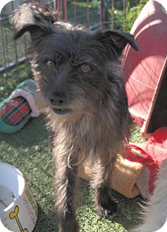 Terrier (Unknown Type, Small) Mix Dog for adoption in San Pablo, California - TOBY