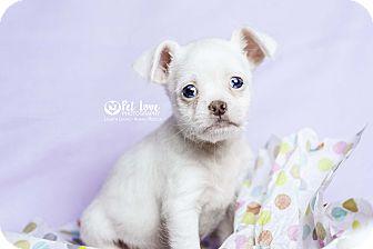 Shih Tzu/Terrier (Unknown Type, Medium) Mix Puppy for adoption in Cincinnati, Ohio - Joey