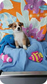 Norwegian Buhund/Border Collie Mix Puppy for adoption in China, Michigan - Snickerdoodle
