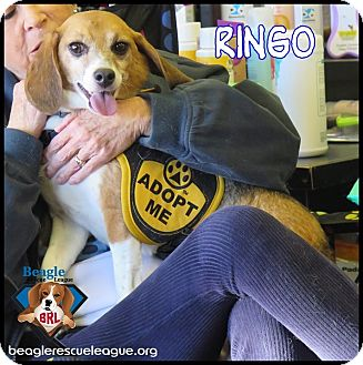 Beagle Dog for adoption in Yardley, Pennsylvania - Ringo