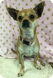 Chihuahua Dog for adoption in The Dalles, Oregon - Merryweather
