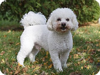 Bichon Frise/Poodle (Miniature) Mix Dog for adoption in Ile-Perrot, Quebec - BOO