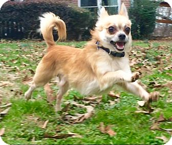 Chihuahua Mix Dog for adoption in Carlisle, Pennsylvania - Stanley