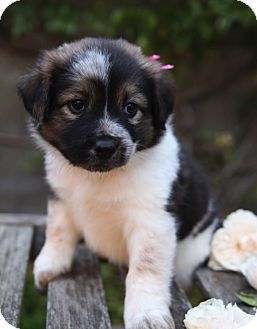 Australian Shepherd/Golden Retriever Mix Puppy for adoption in La Habra Heights, California - Snow White