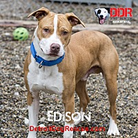 American Pit Bull Terrier Mix Dog for adoption in St. Clair Shores, Michigan - Edison