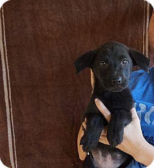 Labrador Retriever/Golden Retriever Mix Puppy for adoption in Oviedo, Florida - Camila