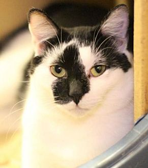 Domestic Shorthair Cat for adoption in Raleigh, North Carolina - Lucas K