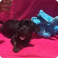 Adopt A Pet :: Apple - Acworth, GA