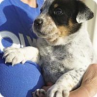Adopt A Pet :: Arthur Curry! - New York, NY