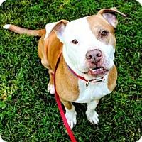 Adopt A Pet :: Scooby - Mt. Pleasant, MI
