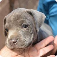 Adopt A Pet :: Stella - Dana Point, CA