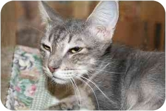 Domestic Mediumhair Cat for adoption in tucson, Arizona - Jessica