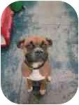 Boxer Dog for adoption in Reno, Nevada - Porthos