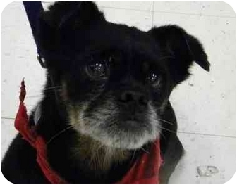 Pug/Terrier (Unknown Type, Small) Mix Dog for adoption in PRINCETON, New Jersey - Dracula