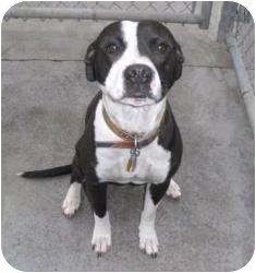 American Pit Bull Terrier/American Staffordshire Terrier Mix Dog for adoption in New Kent, Virginia - Rex