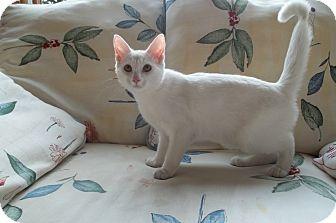 Domestic Shorthair Kitten for adoption in Acme, Pennsylvania - Gabby