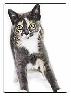 Domestic Shorthair Cat for adoption in Newland, North Carolina - Penny