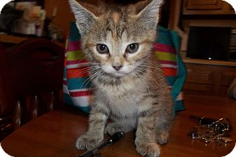 Domestic Shorthair Kitten for adoption in Acme, Pennsylvania - Bubbles