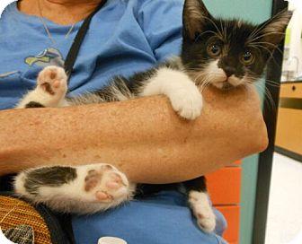 Domestic Shorthair Kitten for adoption in Reston, Virginia - MuShu