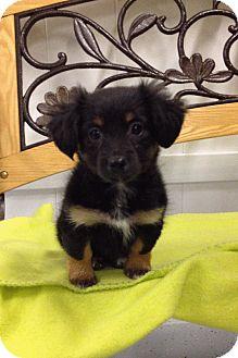Dachshund Mix Puppy for adoption in Reno, Nevada - Arya