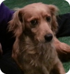 Golden Retriever/Cocker Spaniel Mix Dog for adoption in Chicago, Illinois - Jemma