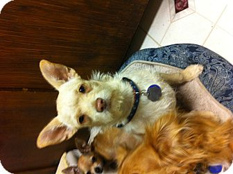 Terrier (Unknown Type, Medium) Mix Dog for adoption in Santa Monica, California - Rory