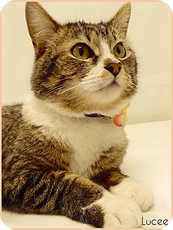 Domestic Shorthair Cat for adoption in Arlington/Ft Worth, Texas - Lucee