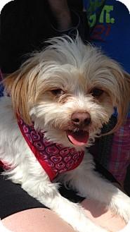 Maltese Mix Dog for adoption in El Segundo, California - Mango