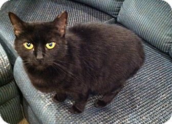 Domestic Shorthair Cat for adoption in Ladysmith, Virginia - Betty