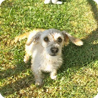 Dachshund Mix Dog for adoption in El Cajon, California - Prince