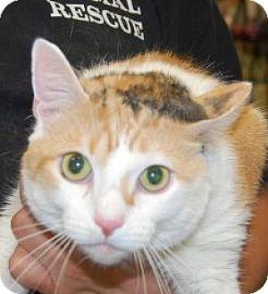 Domestic Mediumhair Cat for adoption in Brooklyn, New York - Femi