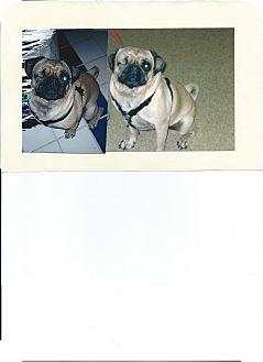 Pug Dog for adoption in Chico, California - Twinkie