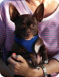 Chihuahua Mix Dog for adoption in Homer, New York - Lucah
