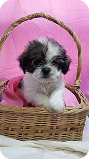 Shih Tzu Puppy for adoption in Chester, Illinois - Misa