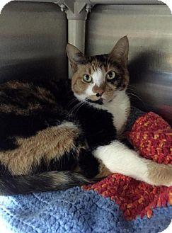 Calico Cat for adoption in Warren, Michigan - Honey