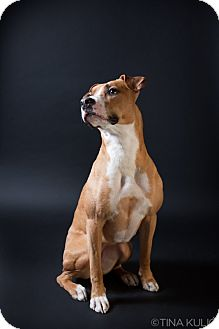 Pit Bull Terrier/Boxer Mix Dog for adoption in Bellingham, Washington - Nootka
