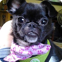Adopt A Pet :: Peppa - Portland, ME