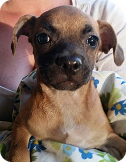 Chihuahua/Pug Mix Puppy for adoption in Chiefland, Florida - Alpha